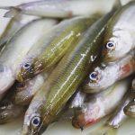 火曜日お魚day